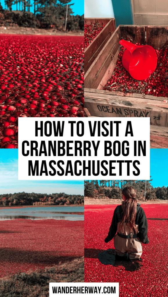 Visiting a Cranberry Bog in Massachusetts