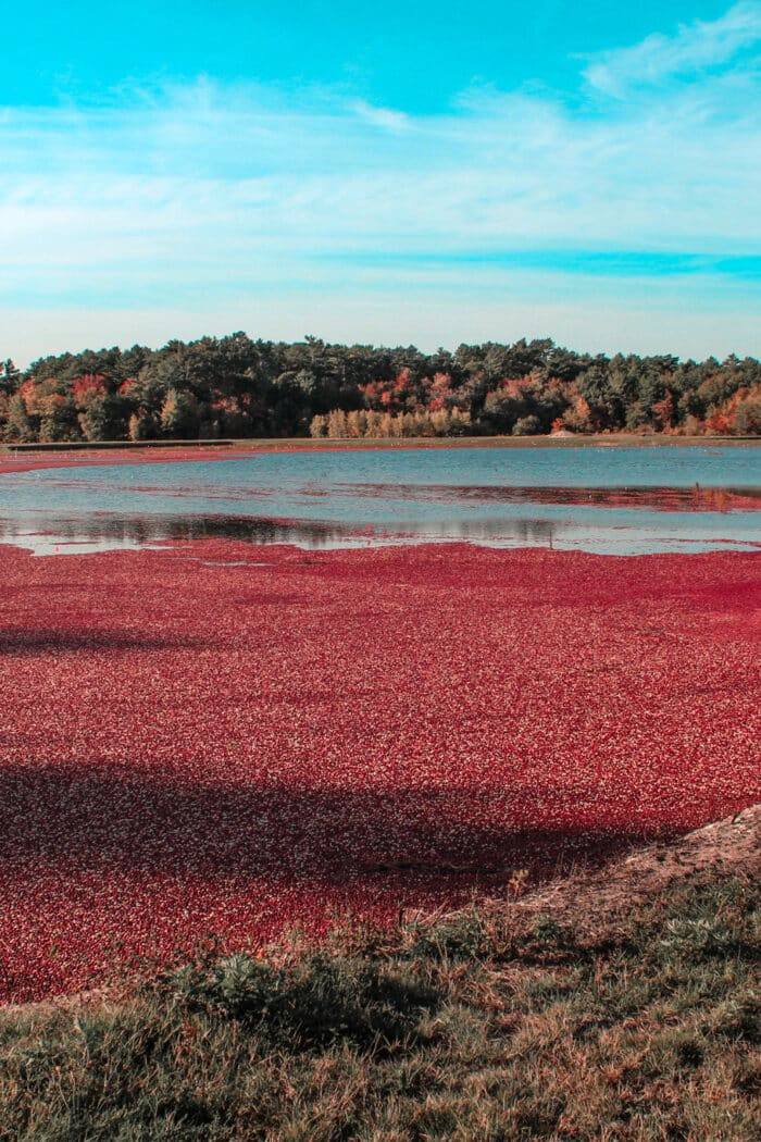 Visiting a Cranberry Bog in Massachusetts